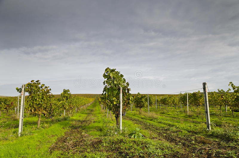 Het oogsten periode in de wijngaard royalty-vrije stock afbeelding