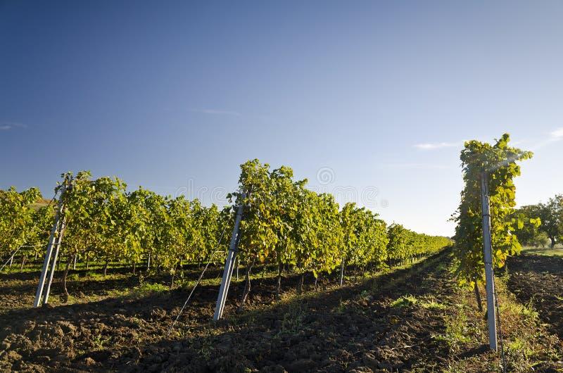Het oogsten periode in de wijngaard royalty-vrije stock foto's