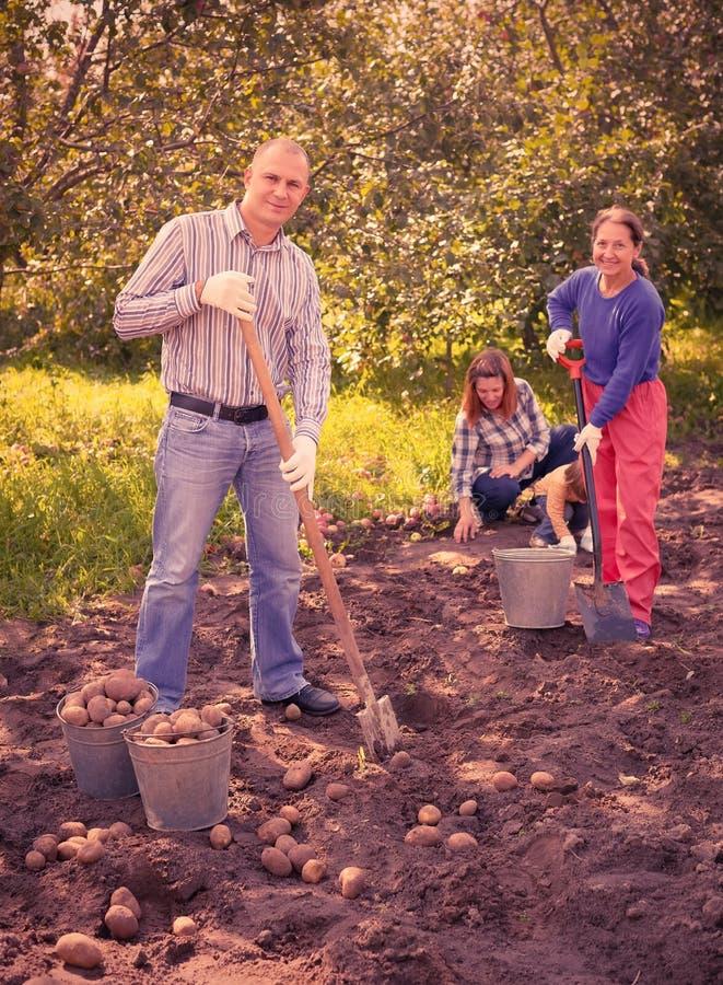 Het oogsten van de familie aardappels op gebied stock afbeelding