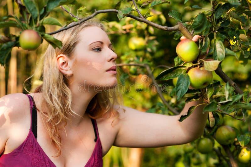 Het Oogsten van de vrouw appelen in tuin royalty-vrije stock foto's