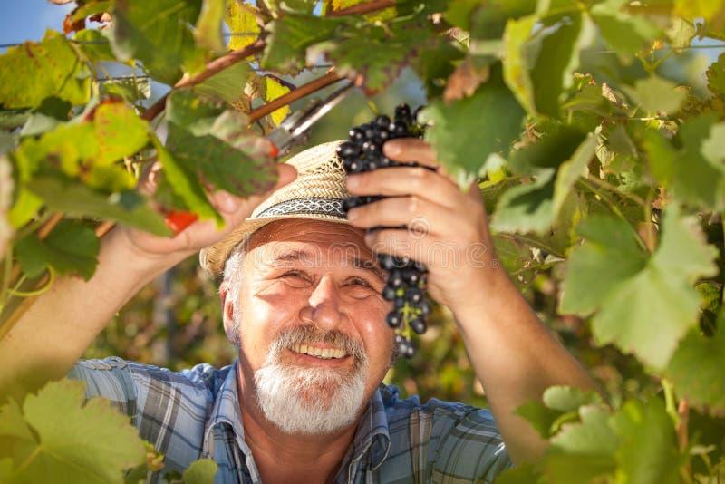 Het oogsten van Druiven in de Wijngaard stock afbeeldingen