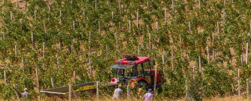 Het oogsten van druiven royalty-vrije stock afbeelding
