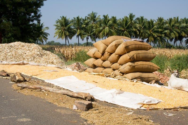 Het oogsten van het graan in India royalty-vrije stock foto's