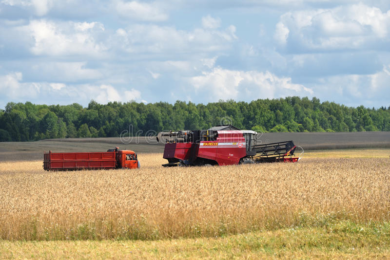 Het oogsten van tarwe Rusland stock afbeelding