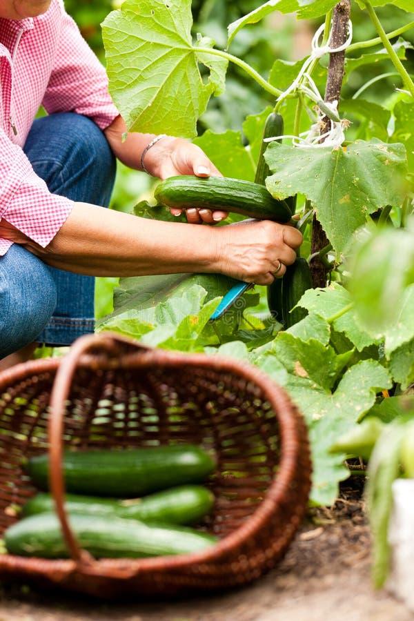 Het oogsten van WWoman komkommers in haar tuin stock foto's