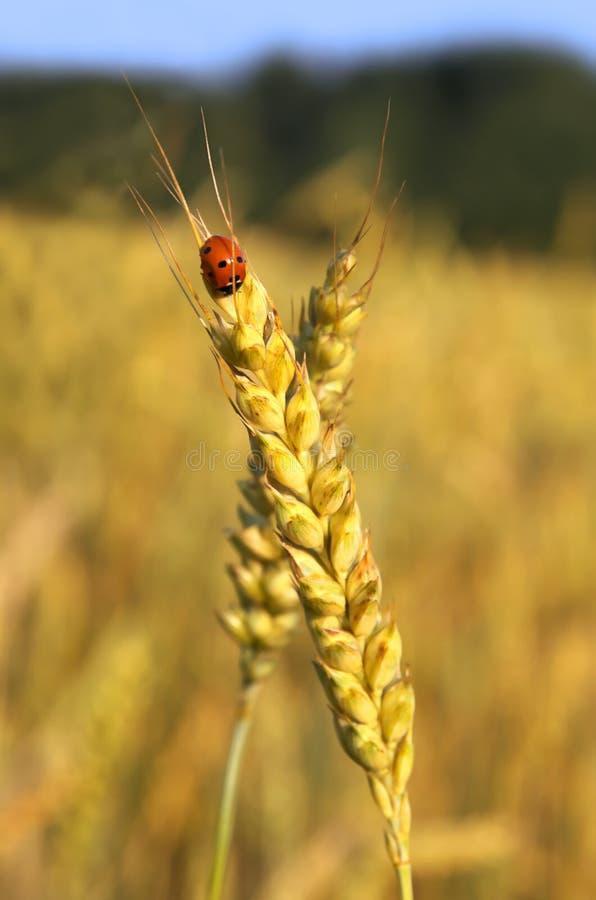 Het oor van het lieveheersbeestje en van de tarwe royalty-vrije stock foto's