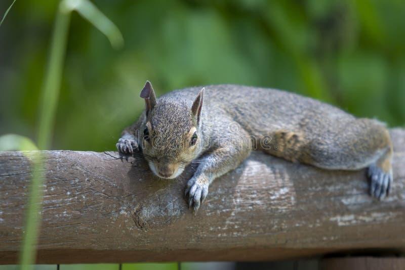 Het oostelijke grijze eekhoorn lounging op een omheiningsspoor die kijker onder ogen zien stock fotografie