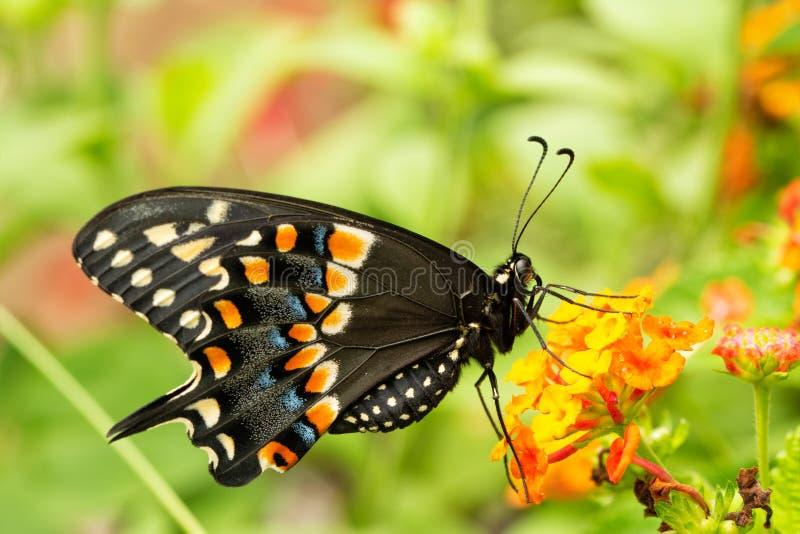 Het oostelijke Zwarte Swallowtail-vlinder voeden op een gele en oranje lantanabloem stock foto