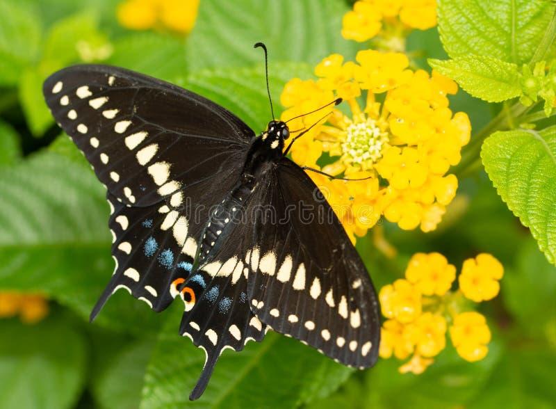 Het oostelijke Zwarte Swallowtail-vlinder voeden op een gele Lantana-bloem stock foto
