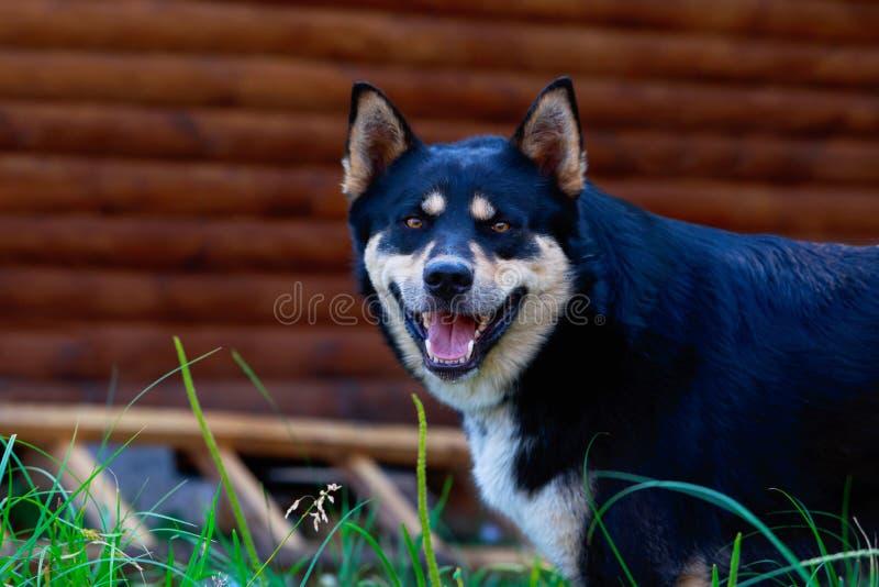 Het Oosten Siberische Laika van het hondras stock foto