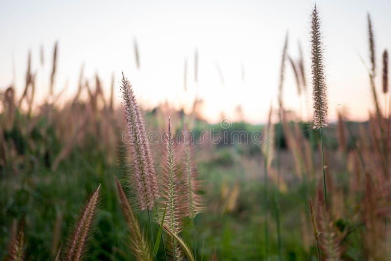 Het opdrachtgras, de Veer Pennisetum, het Dunne Napier-Gras of Poaceae-het Gras bloeien op zonsonderganglicht en de sinaasappel b royalty-vrije stock fotografie