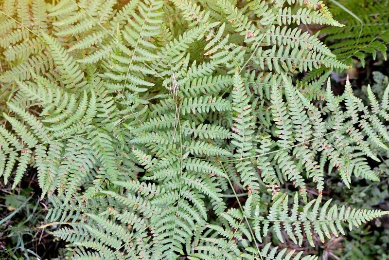 Het Openluchtconcept van Fern Leafs Autumn Time Forest stock afbeelding