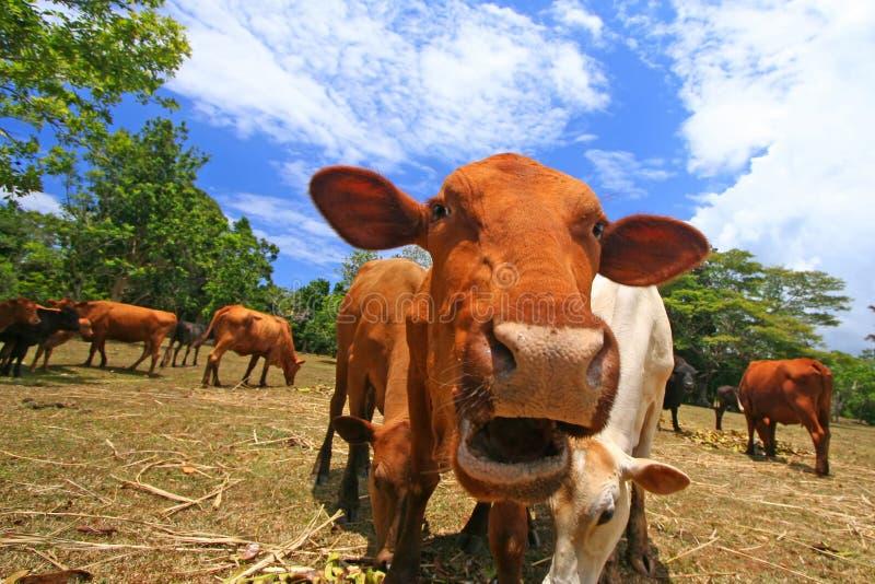 Het opgeschrokken koe weiden in weiland stock afbeeldingen