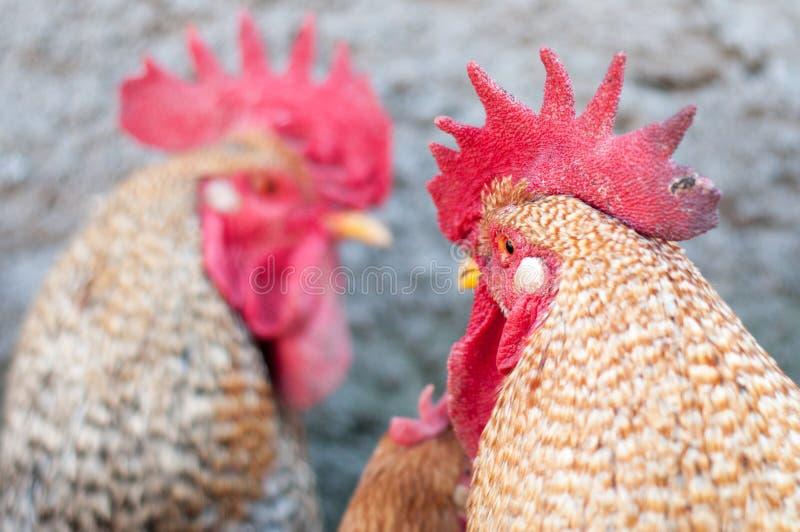 Het opleggen van hanen stock fotografie