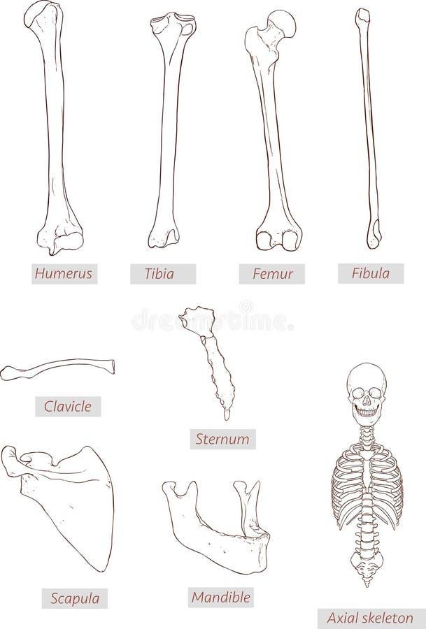 Het opperarmbeen, scheenbeen, dijbeen, fibula, sleutelbeen, borstbeen, schouderblad, onderkaak, asskelet detailleerde medische il stock illustratie