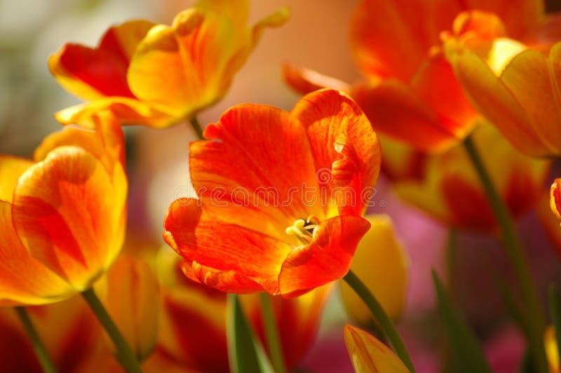Het oranje & Gele Groeien van Tulpen stock afbeeldingen