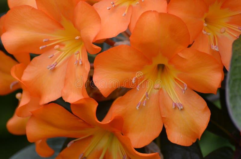 Het oranje de Bloesem omhoog-Sluiten van de Rododendronbloem stock foto's