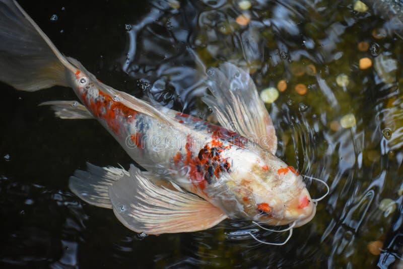 Het oranje en Witte Karpervissen Zwemmen stock afbeeldingen