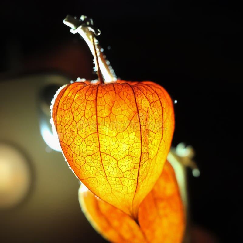 Het oranje fruit van physalis wordt verlicht door het achterlicht Oranje flitslicht Sluit omhoog stock afbeeldingen