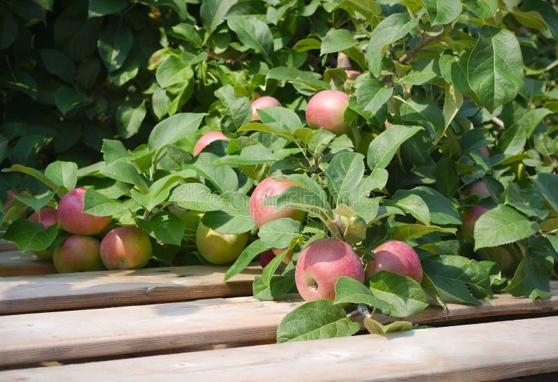 Het organische appel plukken in boom paulared houten pallet gezond organisch fruit stock foto