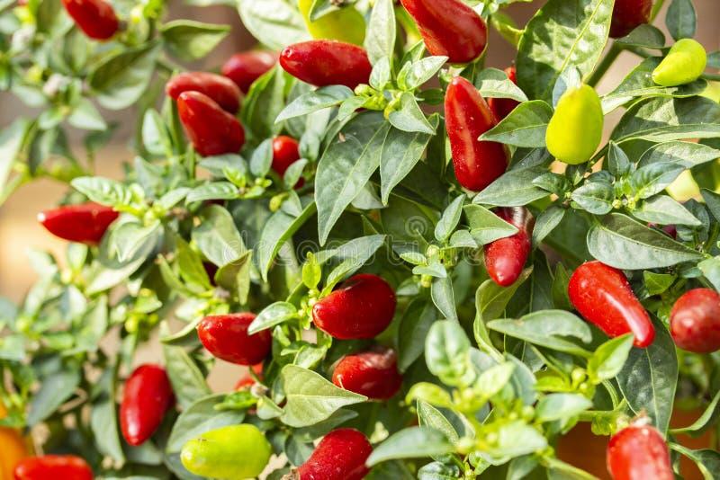 Het organische Capsicum van de vogelspaanse peper frutescens, vele kleine hete Spaanse peperpeper op een struik, achtergrondbehan royalty-vrije stock foto's