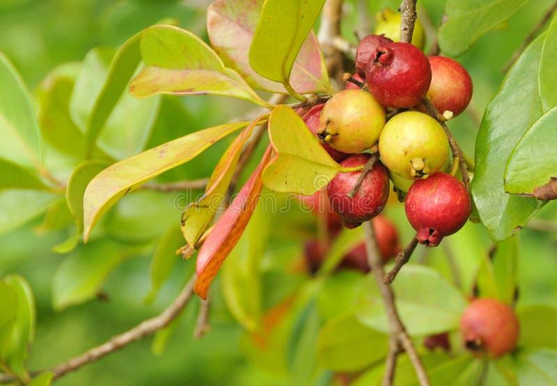 Het organische Fruit van de Guave van de Kers stock foto's
