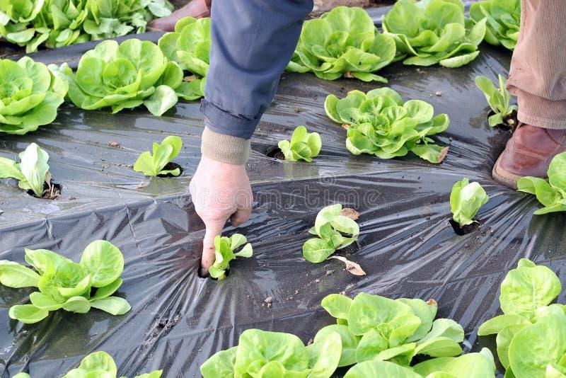 Het organische Groeien van de Sla in Serre stock afbeeldingen