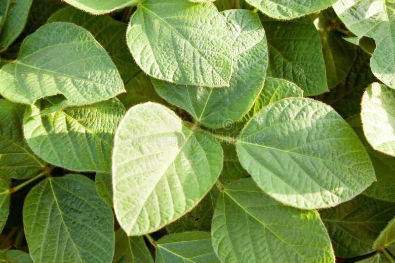 Het organische groene close-up van sojabooninstallaties stock afbeelding