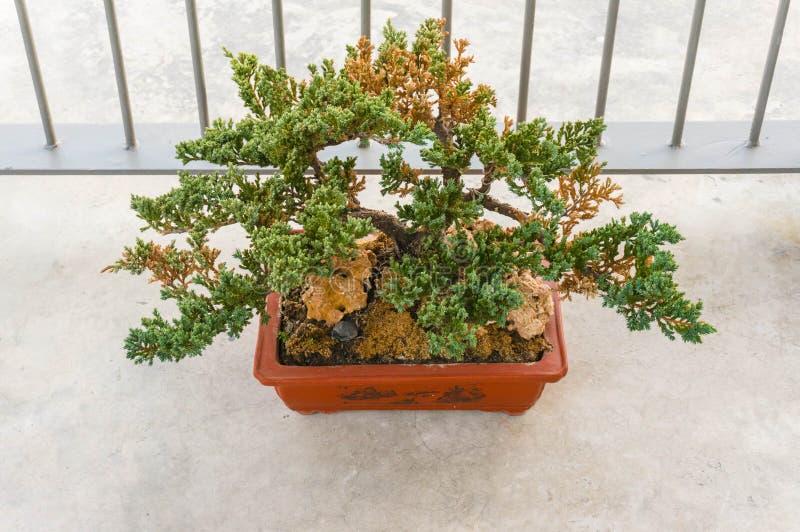 Het oude bonsaiboom groeien stock fotografie