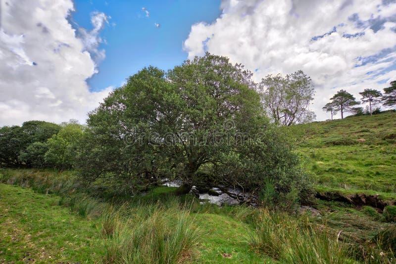 Het oude Boom groeien op Dartmoor Engeland het UK stock afbeelding