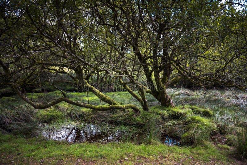 Het oude Boom groeien op Dartmoor Engeland het UK stock foto's