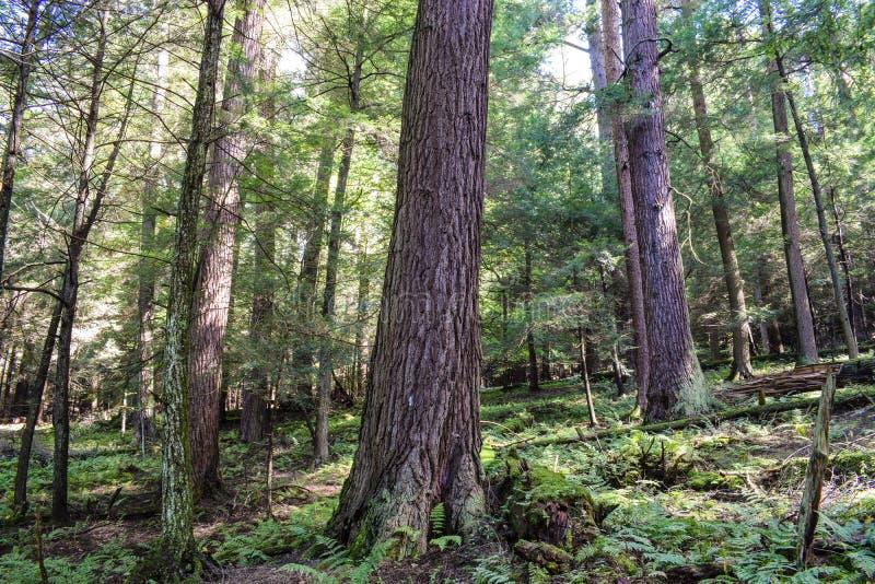 Het oude Bos van de Groei royalty-vrije stock afbeelding