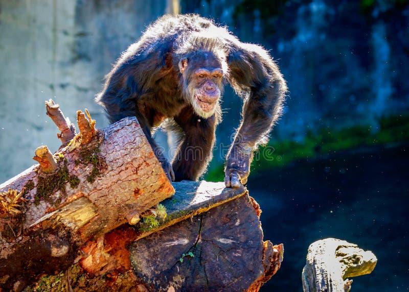 Het oude Chimpansee beklimmen royalty-vrije stock afbeeldingen