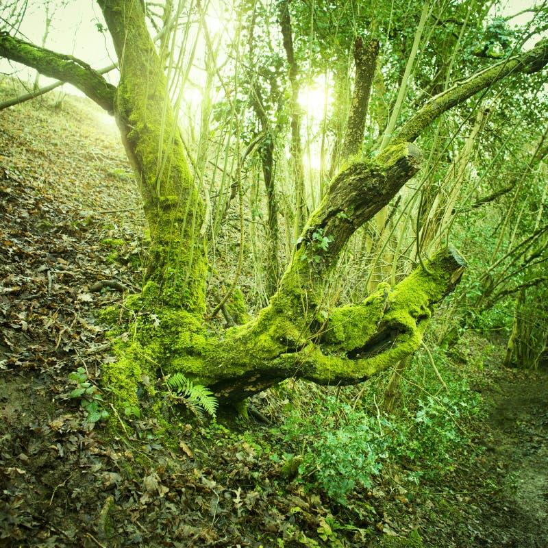 Download Het Oude Groene Mos Van De Boom Stock Afbeelding - Afbeelding bestaande uit reserve, wild: 29509623