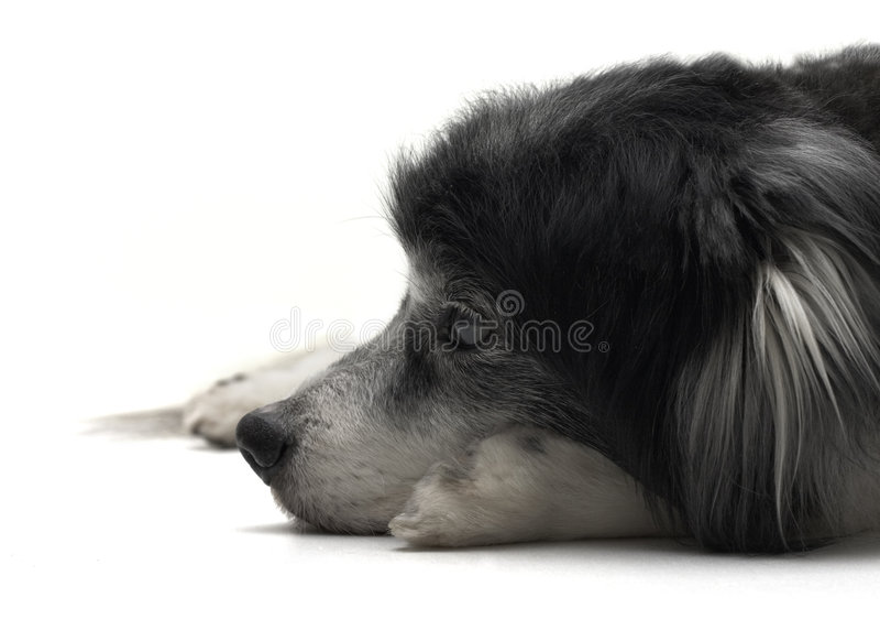 Het oude hond liggen stock afbeelding