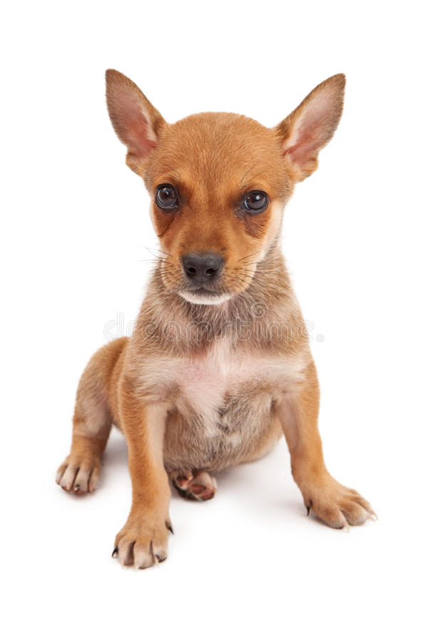 Het oude puppy die van acht weken camera bekijken stock fotografie