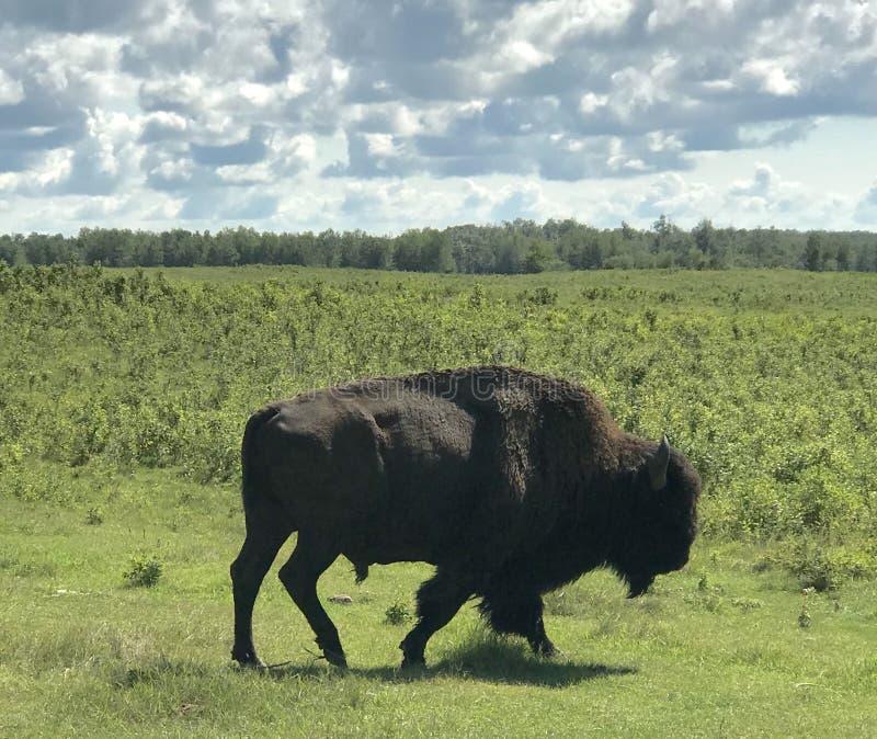 Het overgaan van Wilde Buffels in het Nationale Park van het Elandeneiland, Alberta, Canada stock afbeelding