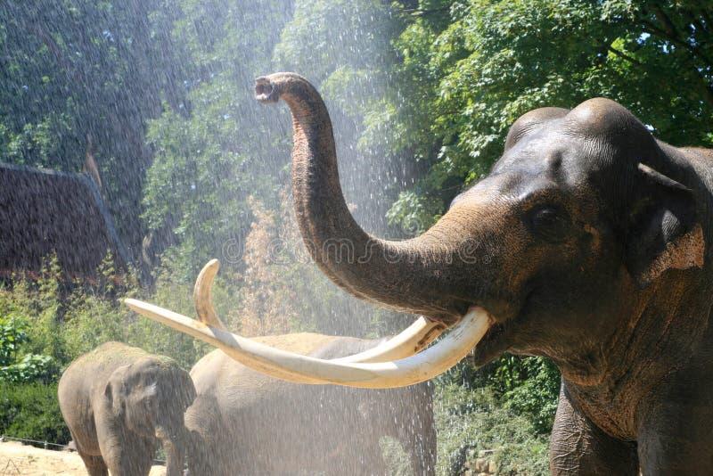 Het overgieten van olifanten in de zomer stock fotografie