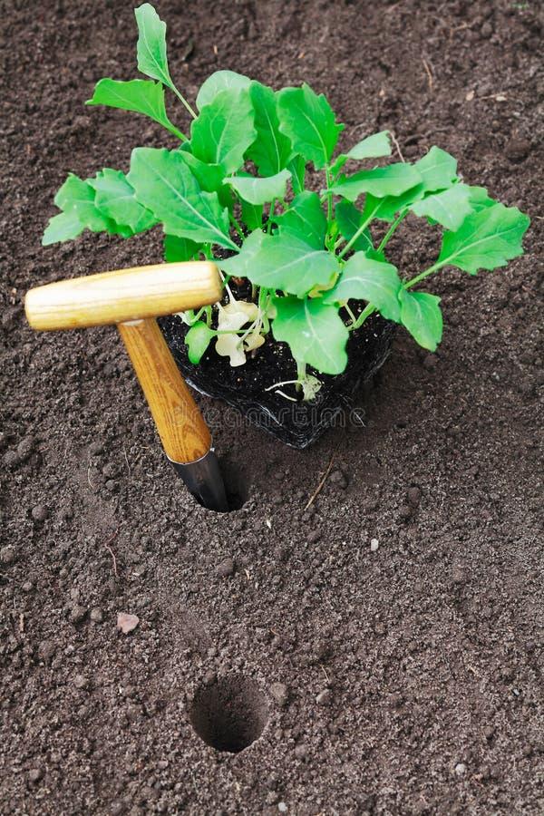 Het overplanten van jonge zaailingen in de tuin stock afbeeldingen