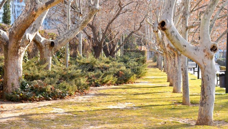 Het overweldigen, lange weg voerde met oude levende die esdoornbomen zonder bladeren in Spaans mos in de warme, vroege ochtend bi royalty-vrije stock foto's