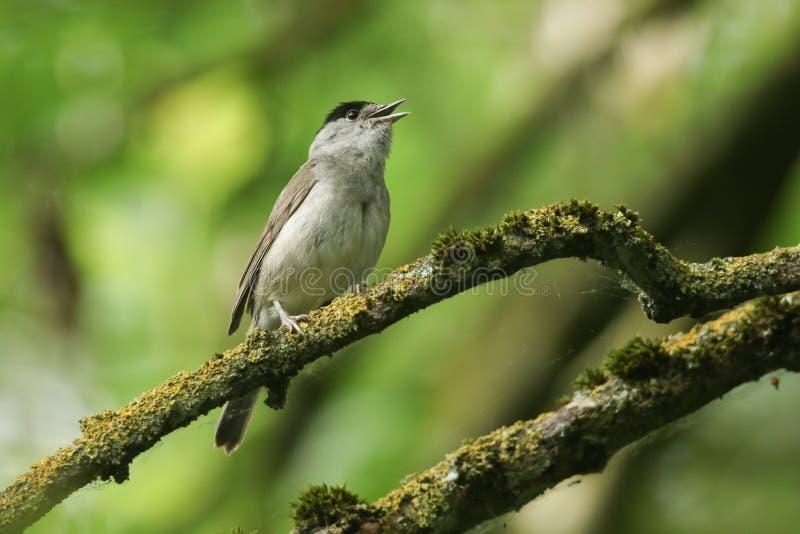 Het overweldigende zingen mannelijke Blackcap, atricapilla van Sylvia, die op een tak in een boom wordt neergestreken die in kors stock afbeelding