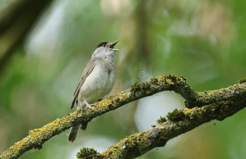 Het overweldigende zingen mannelijke die Blackcap, atricapilla van Sylvia, op een tak in een boom wordt neergestreken in korstmos royalty-vrije stock fotografie