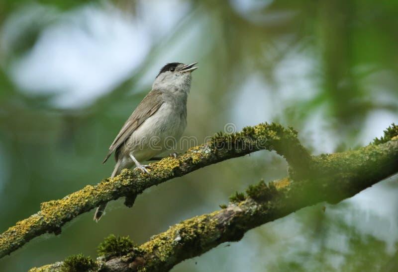 Het overweldigende zingen mannelijke die Blackcap, atricapilla van Sylvia, op een tak in een boom wordt neergestreken in korstmos stock afbeelding