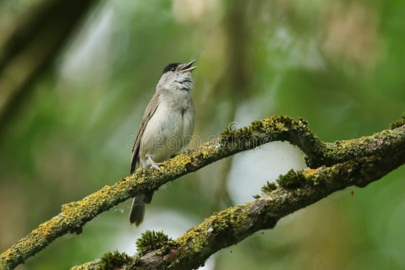 Het overweldigende zingen mannelijke die Blackcap, atricapilla van Sylvia, op een tak in een boom wordt neergestreken in korstmos stock foto