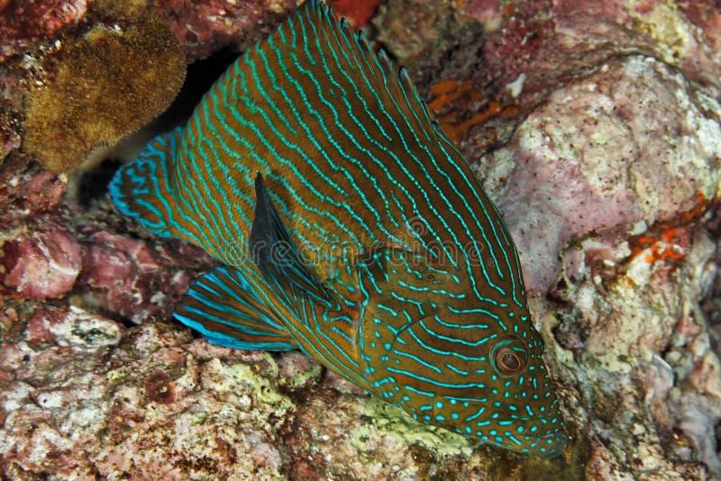 Het Overzees Formosa - Andaman van Cephalopholis stock afbeelding