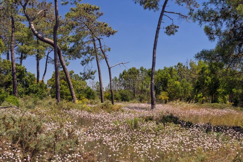Het overzees nam - Armeria pungens, Ria Formosa Natural Park, Algarve, Portugal toe royalty-vrije stock afbeeldingen