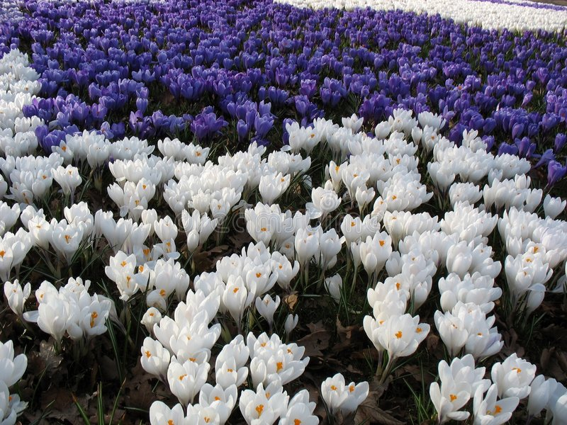 Het overzees van de lente van bloemen - krokussen stock afbeelding