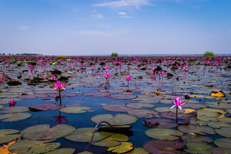 Het overzees van rode lotusbloem royalty-vrije stock foto