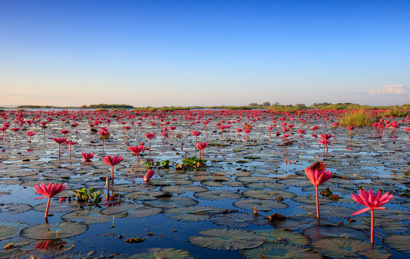 Het overzees van rode lotusbloem, Meer Nong Harn, Udon Thani, Thailand stock fotografie