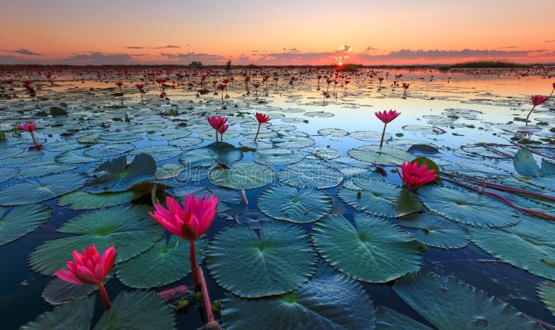 Het overzees van rode lotusbloem, Meer Nong Harn, Udon Thani, Thailand royalty-vrije stock foto's
